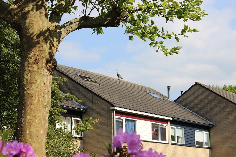 Pauw op dak houdt brandweer bezig