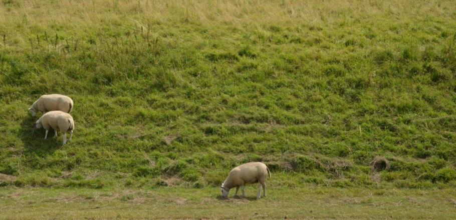 Hond doodt en verwondt schapen