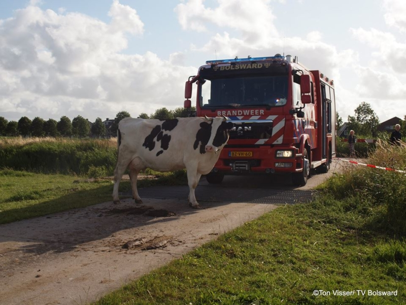 Brandweer haalt koe uit de sloot