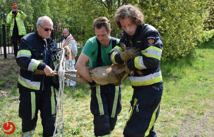 Ree vast in hekwerk; brandweer biedt hulp