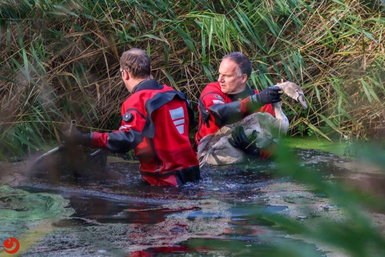 Brandweer haalt mishandelde zwaan uit vijver in Leeuwarden